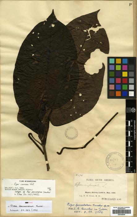 Piper cernuum image