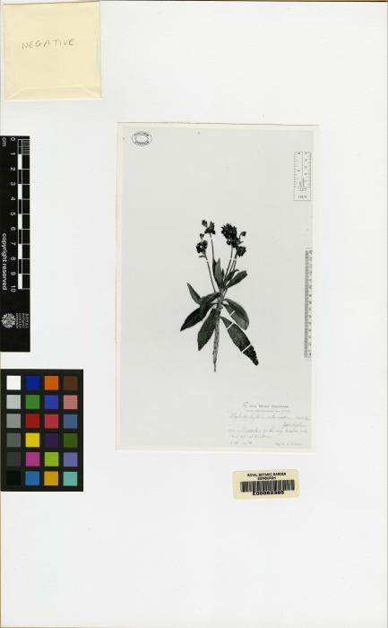 Rhytidophyllum minus image
