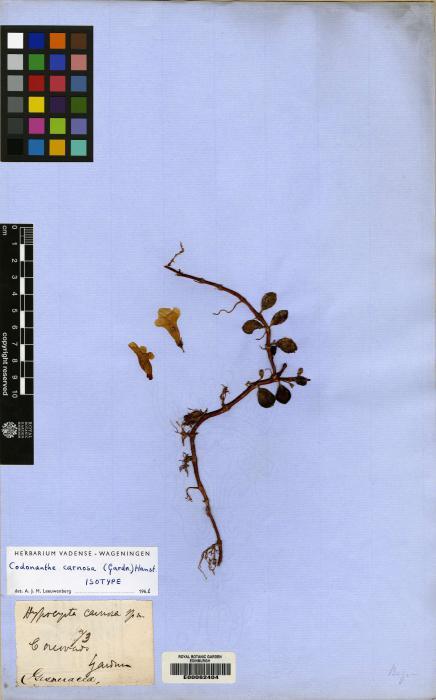 Codonanthe carnosa image