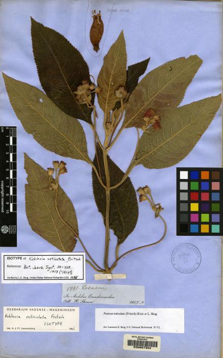 Pearcea reticulata image