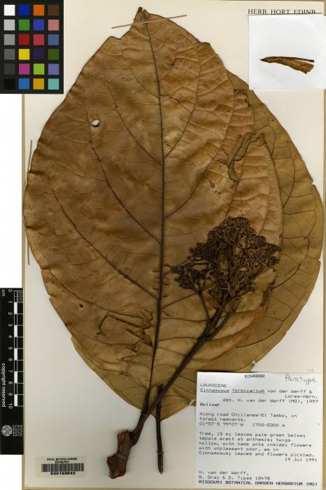 Cinnamomum formicarium image