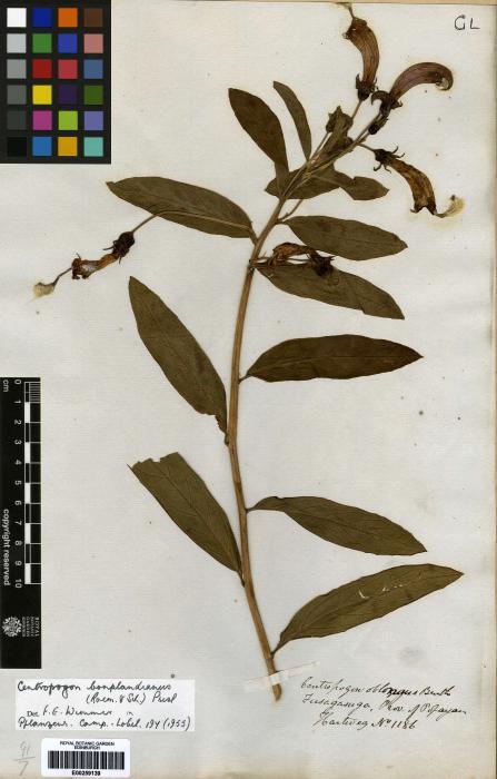 Centropogon cornutus image