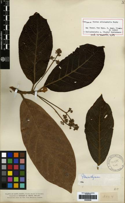 Beilschmiedia alloiophylla image