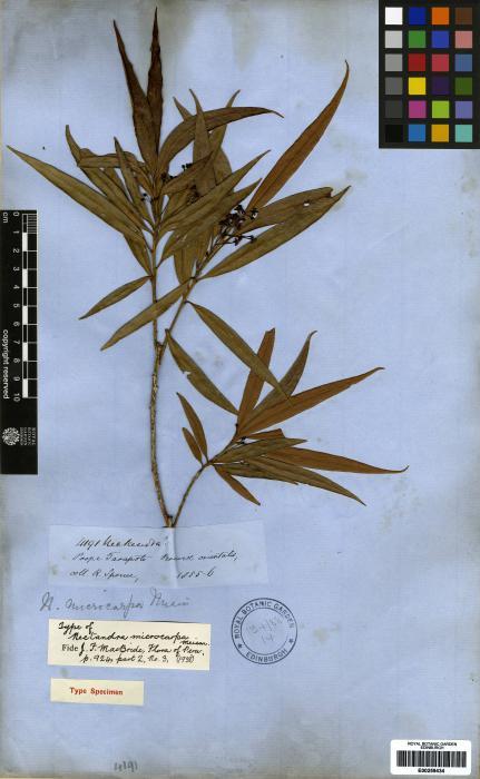 Nectandra microcarpa image