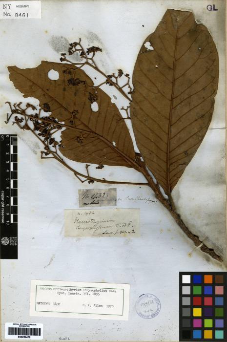 Pleurothyrium cuneifolium image