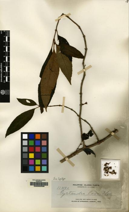 Cyrtandra pallida image