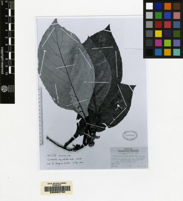 Cyrtandra cyathibracteata image
