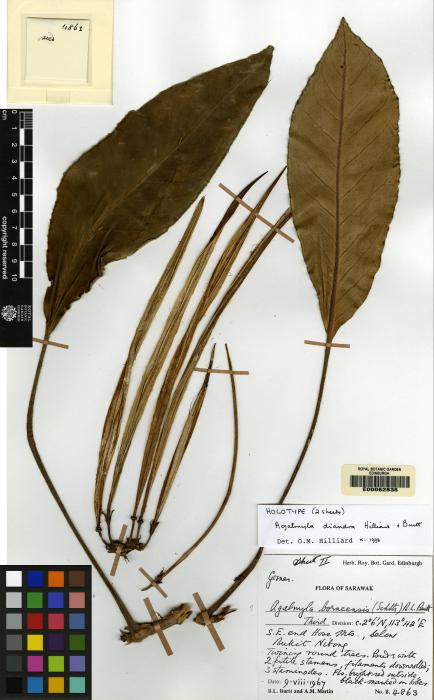 Cyrtandra dolichocarpa image
