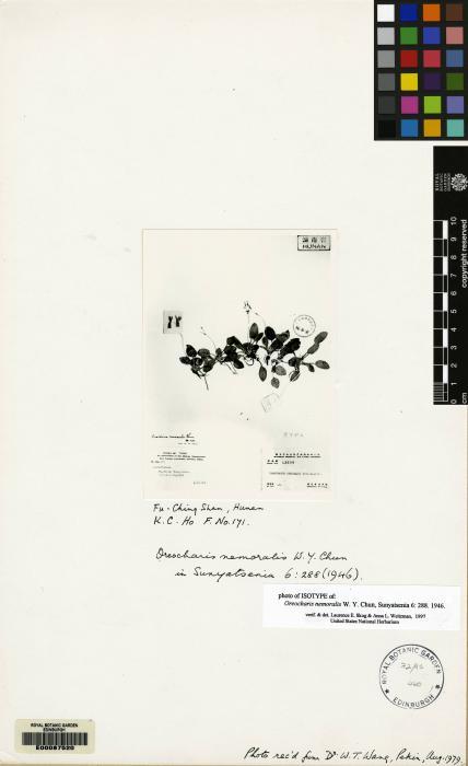 Oreocharis nemoralis image