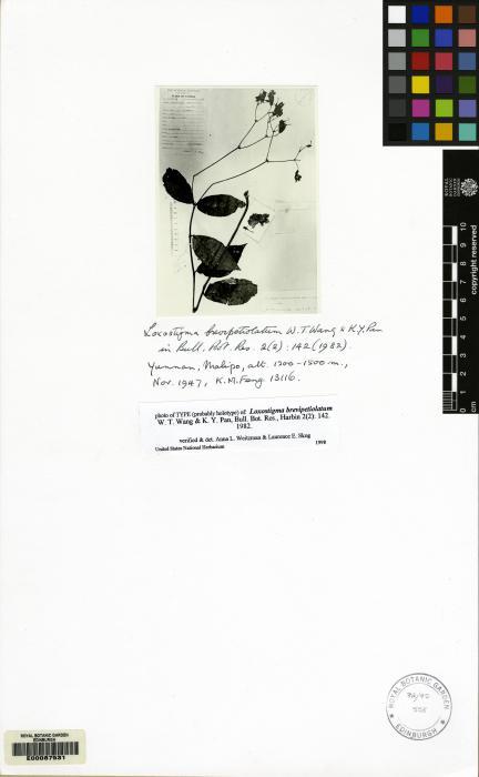Loxostigma brevipetiolatum image