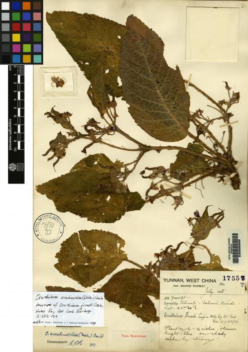 Ornithoboea arachnoidea image