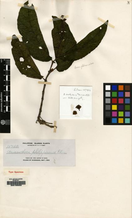 Stauranthera coerulea image