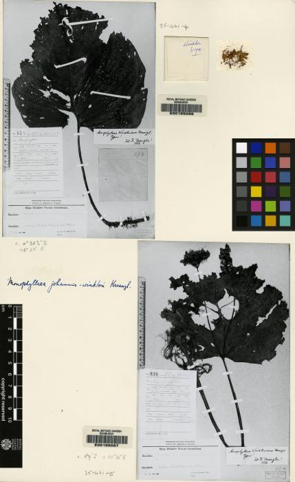 Monophyllaea merrilliana image