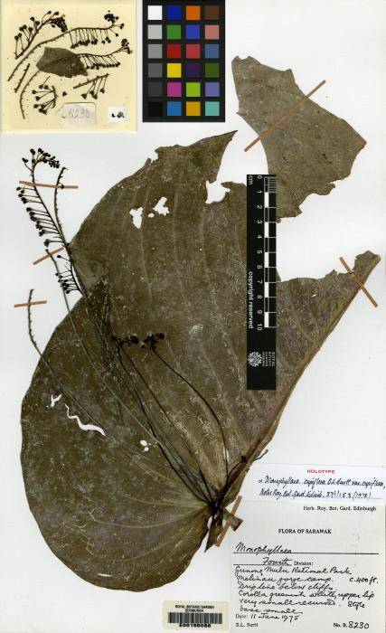 Monophyllaea cupiflora image