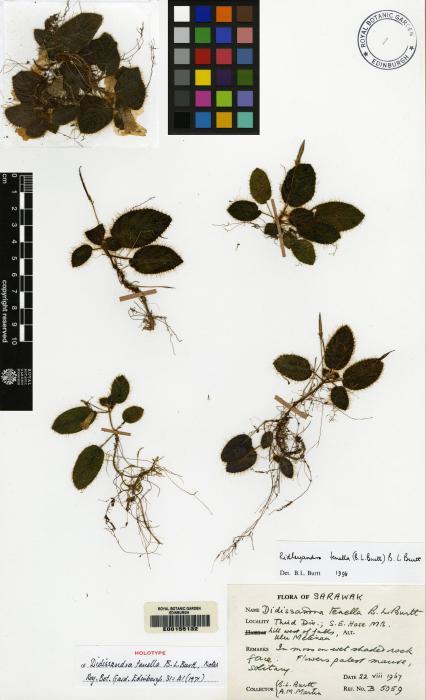 Ridleyandra tenella image