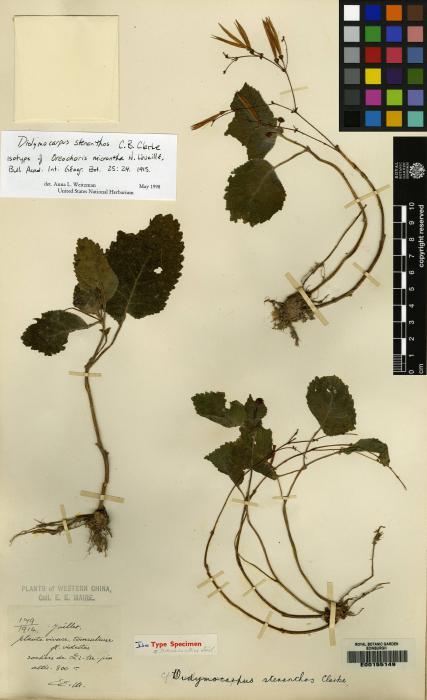 Didymocarpus stenanthos image