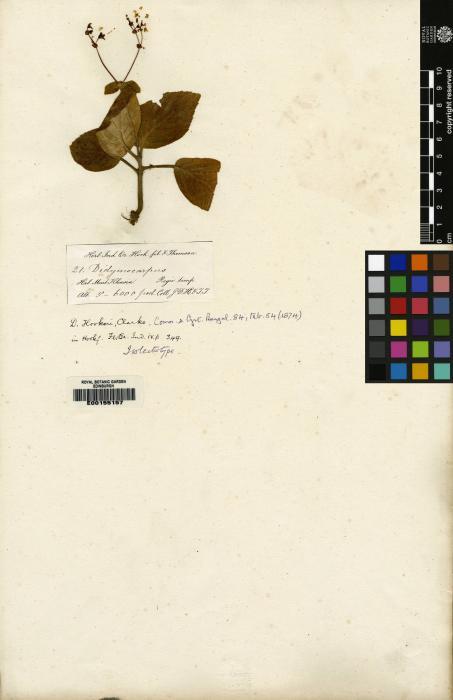 Didymocarpus hookeri image
