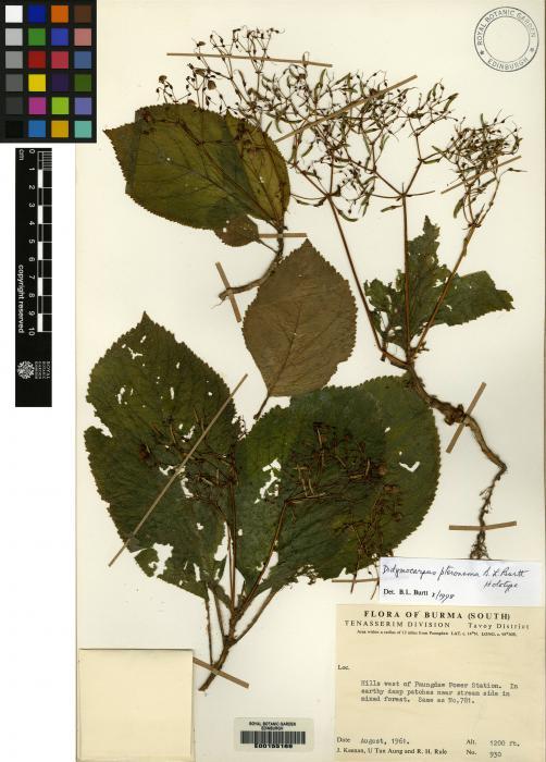 Didymocarpus pteronema image