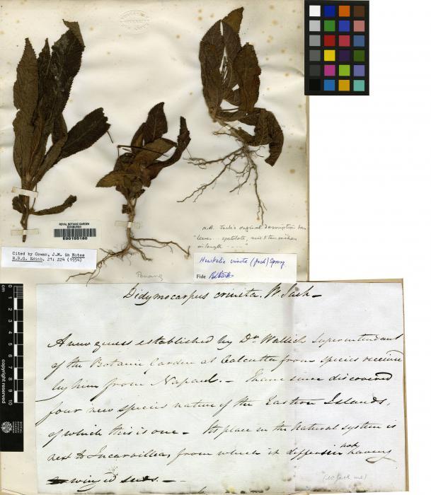Henckelia crinita image