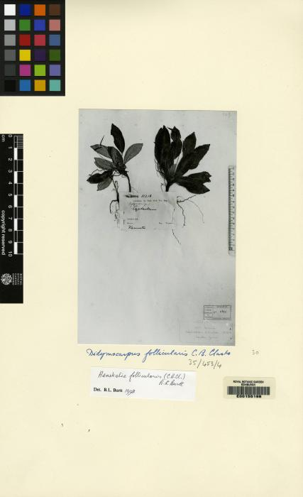 Henckelia follicularis image