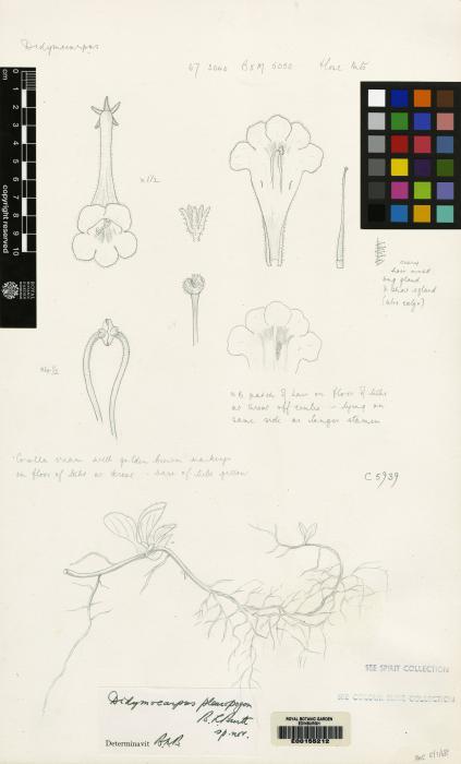 Henckelia pleuropogon image