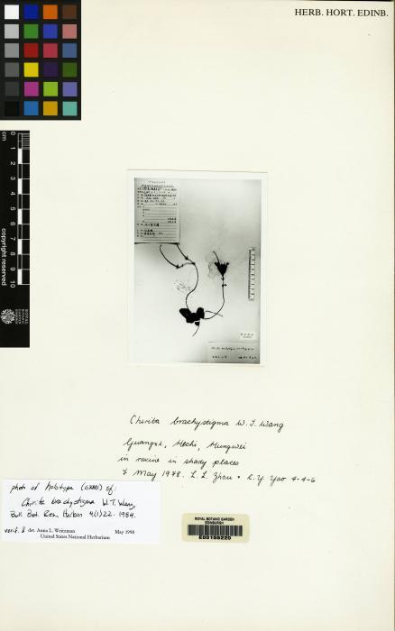 Chirita brachystigma image