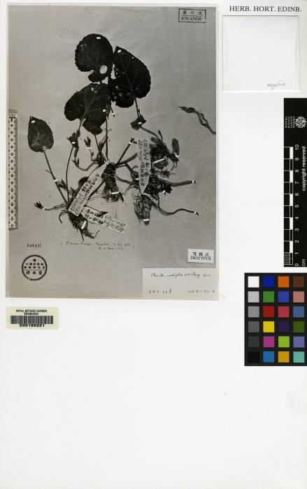 Chirita cordifolia image
