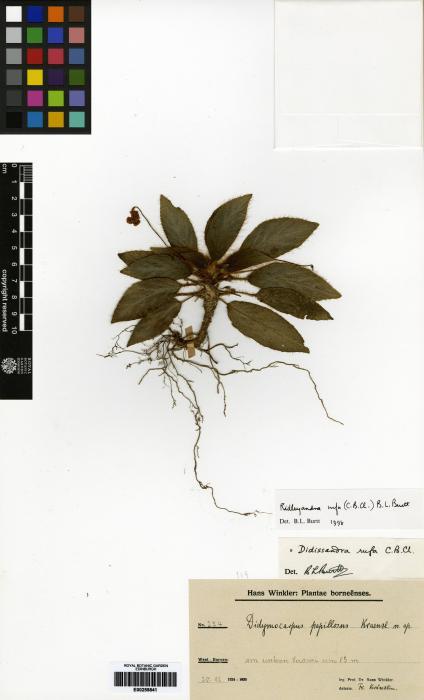 Ridleyandra rufa image