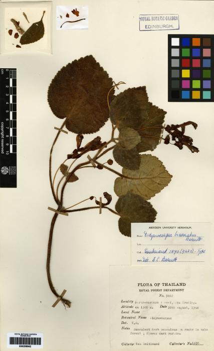 Didymocarpus biserratus image