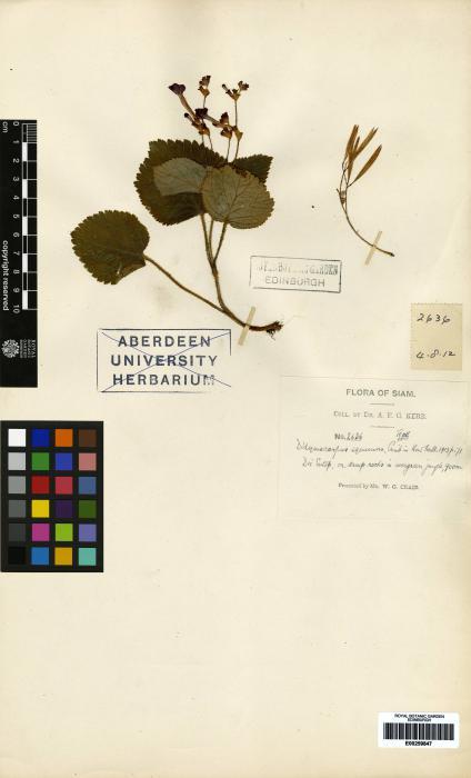 Didymocarpus kerrii image