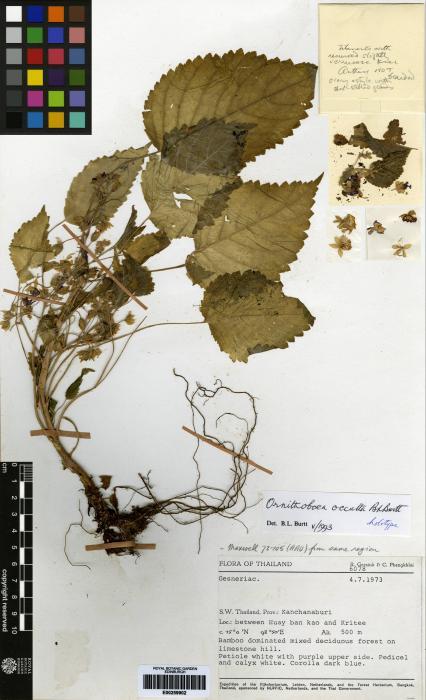 Ornithoboea occulta image