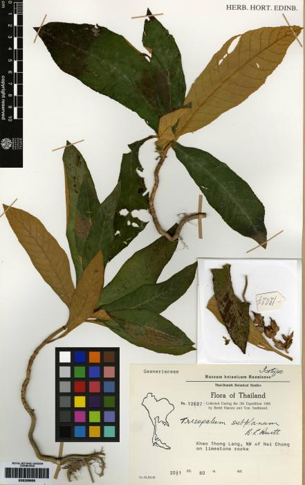 Trisepalum subplanum image