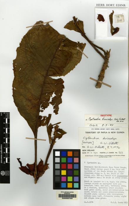 Cyrtandra dinocalyx image