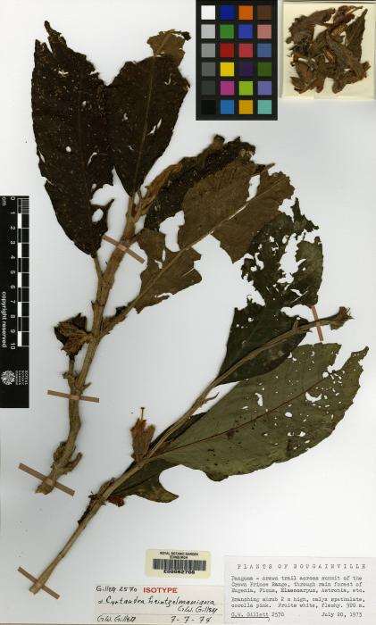 Cyrtandra heintzelmaniana image