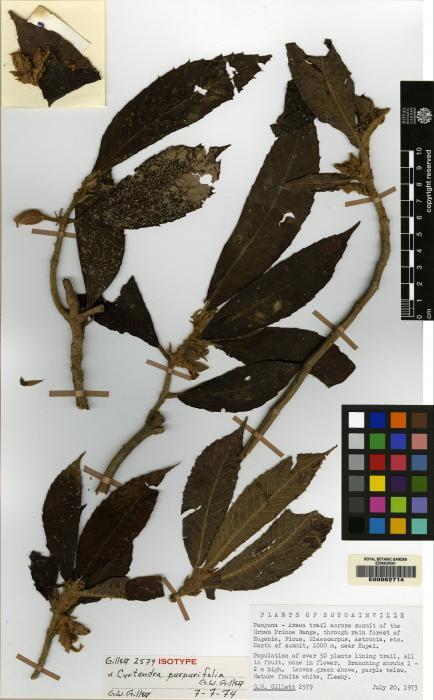Cyrtandra purpurifolia image