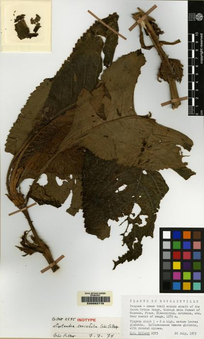 Cyrtandra sericifolia image