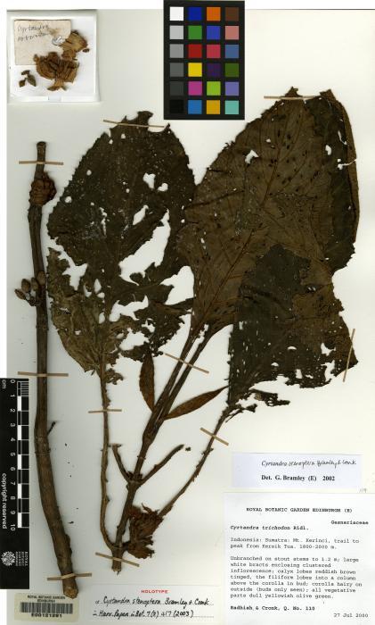 Cyrtandra stenoptera image
