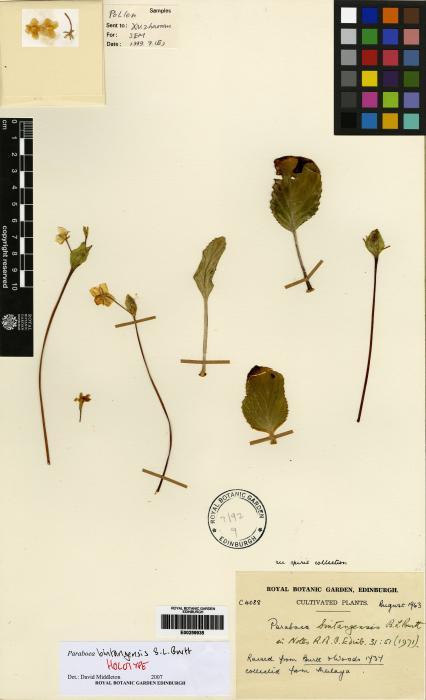 Paraboea bintangensis image