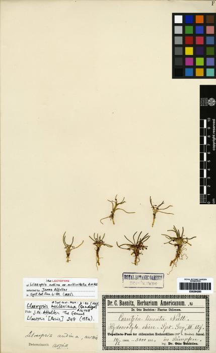 Lilaeopsis macloviana image