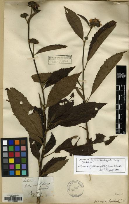 Pavonia fruticosa image