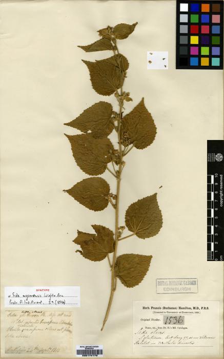 Sida glutinosa image