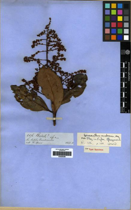 Geissanthus ecuadorensis image