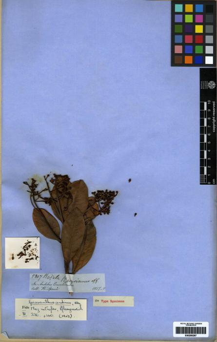 Geissanthus andinus image