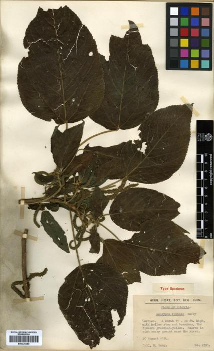 Acalypha image