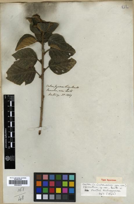 Euphorbiaceae image