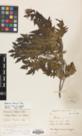 Thumbnail image of a herbarium sheet